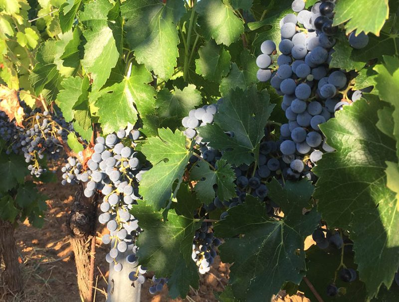gallery-vendemmia-2017-21